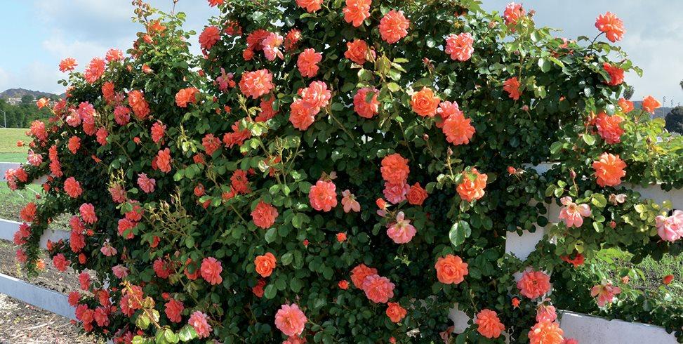 Roses In Garden: Stone Creek Landscaping